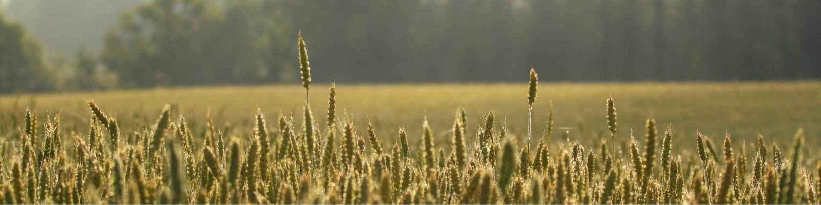 Viljapelto taustalla, edessä pulleita vehnäntähkiä