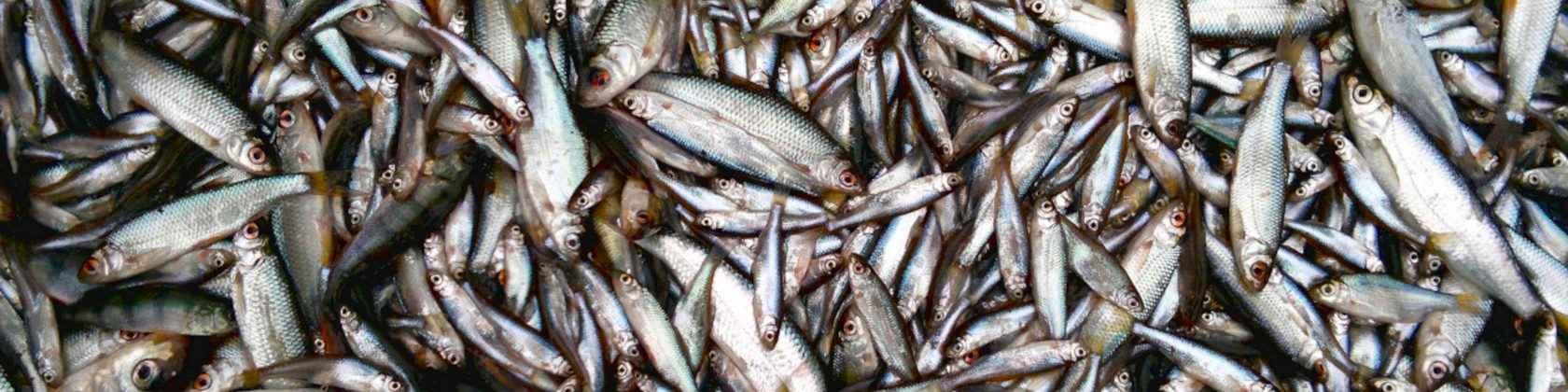Pieniä kaloja: särkikaloja, ahvenia ja salakoita