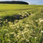 Hiiliviljely, uudistava viljely, maan viljelyn uusia tuulia 22.7.2021